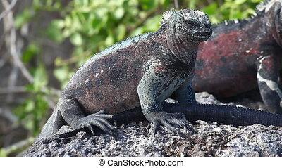 Marine Iguana from the Galapagos - The Marine Iguana,...