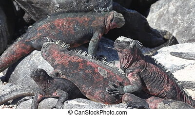 The Marine Iguana, Galapagos - A group of The Marine Iguana,...