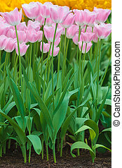 Group of pink with white tulips