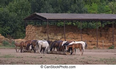 Horses feeding on ranch - Horses feeding, herd of horses on...