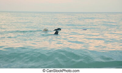Group of three labradors retrievers swimming in the sea at...