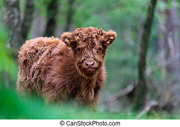 Highland calf at the Veluwe in The Netherlands - Newborn red...