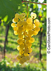 Back lit white grapes growing in a vineyard