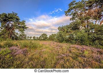 Heathland Stroothuizen - Heath (Calluna vulgaris) and pine...