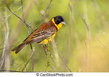 Black headed Bunting perched on a branche - Black headed...