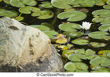 Lilly Pads Lake - Natural lily pads with flower on summer...
