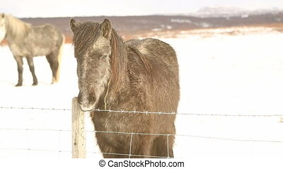 Gray Icelandic pony on a meadow in wintertime