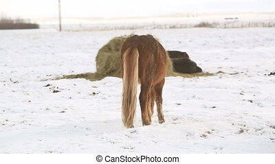 Brown Icelandic horse on a meadow in winter