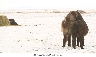 Icelandic horses - Two Icelandic horses take care of each...