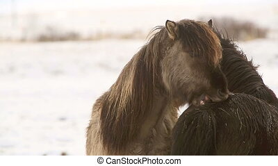 Two Icelandic horses take care - Icelandic horses take care...