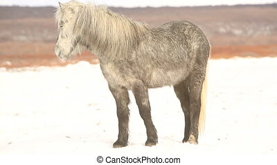 Gray Icelandic pony on a meadow in winter