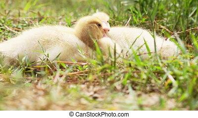 Two cute ducks in the wild - Two little ducks sleeping cozy...