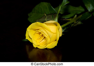 Yellow Rose - A beautiful Yellow rose