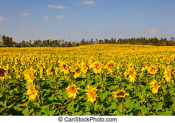 Sunflowers meadow - Landscap picture of a beautiful meadow...
