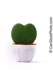 Heart-shaped plant in a flower pot isolated
