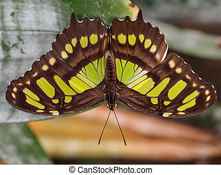 The Malachite wingspan - Wingspan view of the malachite...