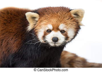 Red Panda XVI - Frontal Portrait of a Red Panda Against a...