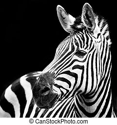 Zebra Closeup - Profile Portrait of a Zebra Against a Black...