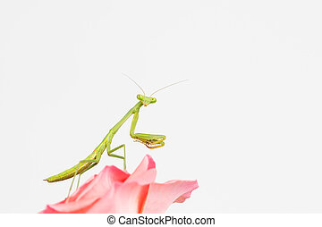 verde, rezando, mantis, ninfa,