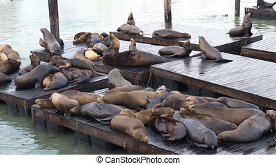 California Sea Lions at Pier 39 - California Sea Lions at...