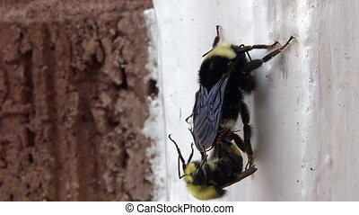 Bumble bee mating with a Drone (male bee) on a white wall.