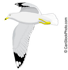 Ring-billed Gull - Larus delawarensis - adult
