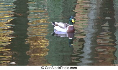 Male Mallard wild duck swim in a pond in New Zealand