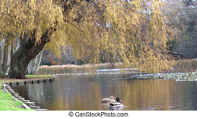 Male and female Mallard wild ducks swim in a pond in New...