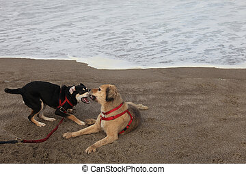 Dogs Play on Beach - Dog and puppy bark and play fight on...