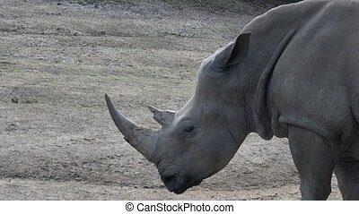Southern White Rhinoceros It critically endangered