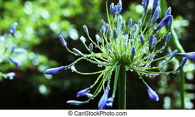Agapanthus umbrella - Agapanthus Flower umbrella in dew and...