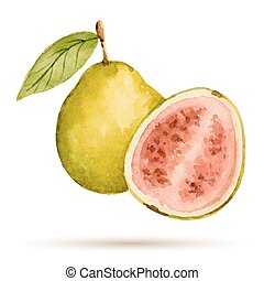 Guava hand drawn watercolor, on a white background. Vector...