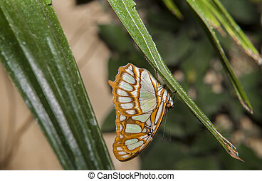 Malachite Butterfly or siproeta stelenes perched on a blade