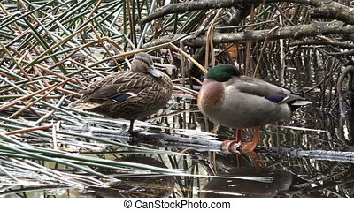 Male and female Mallard wild duck standing in a pond in New...