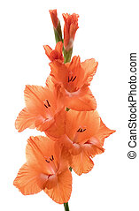 gladiolus - Studio Shot of Gladiolus Isolated on White...