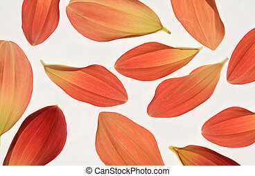 dahlia petals - Red and Alizarin Crimson Coloured Dahlia...