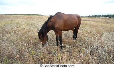 Horse eating grass on the field at summer time in Russia