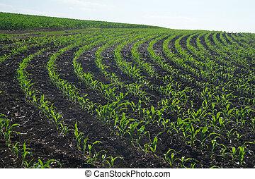 領域, 玉米, 綠色
