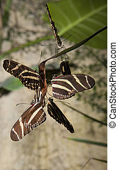 Zebra longwing butterfly mating - Closeup of three pairs of...