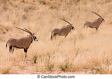 Three Gemsbok Oryx antelope in the Kgalagadi - Three...