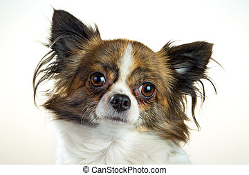 Chihuahua on a white background - Portrait of a dog breed...