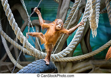 Bornean orangutan cub - Playful young Bornean orangutan at...