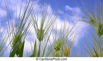 Green barley field, organic farming cultivated plantation,...