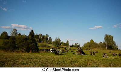 Herd of farm domestic animals grazi - Landscape shot of herd...
