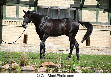 Beautiful black dutch warmblood with bridle in front of...