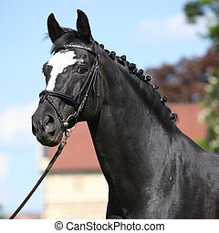 Nice black dutch warmblood with bridle - Nice black dutch...
