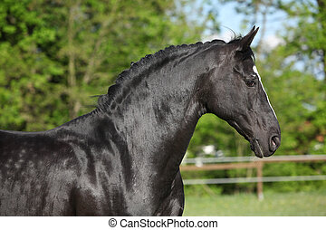 Amazing black dutch warmblood running alone in paddock
