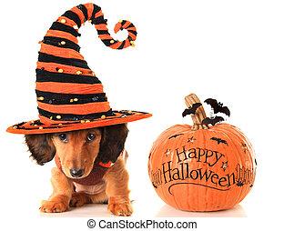 Halloween puppy and pumpkin - Longhair dachshund puppy,...