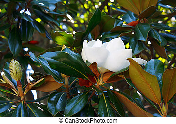 Beautiful tropical magnolia flower among foliage - Beautiful...