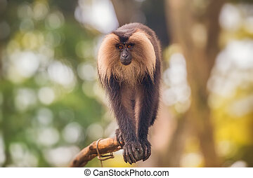 Lion tailed macaque monkey among the tree in jungle